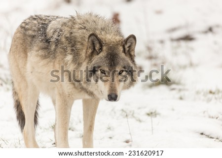 Lone Timber Wolf - stock photo