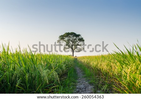 Lone Tree covered with paddy field shoot on sunset - stock photo