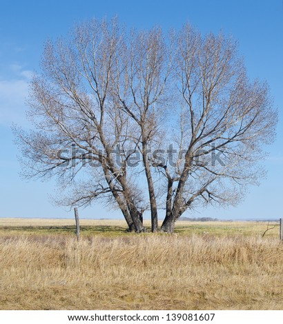 Lone tree on Saskatchewan prairie, starting to bud out in the spring - stock photo