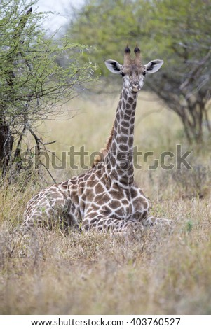 Lone young giraffe laying in the bush to rest - stock photo