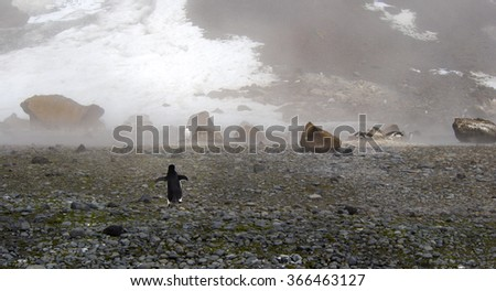 Lonely adelie penguin walking from the beach to its colony in Antarctica - stock photo