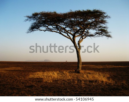 Lonely african acacia tree in the Serengeti National Park in Tanzania during the golden hour - stock photo
