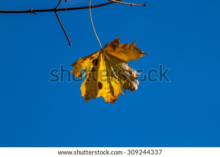 Lonely autumn yellow maple leaves - tree details - stock photo