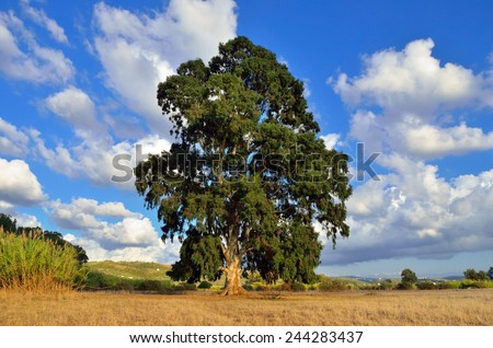 Lonely big eucalyptus tree in late afternoon light against greek landscape. Greece, Peloponnese - stock photo