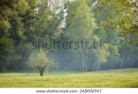 Lonely blossoming pear in the morning misty forest - stock photo