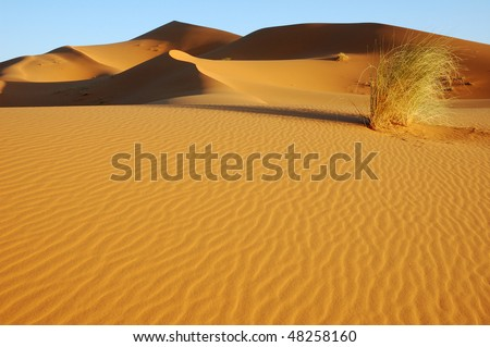 Lonely bush in the desert dunes of Morocco - stock photo