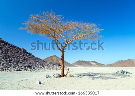 Lonely dry tree on the egyptian desert - stock photo