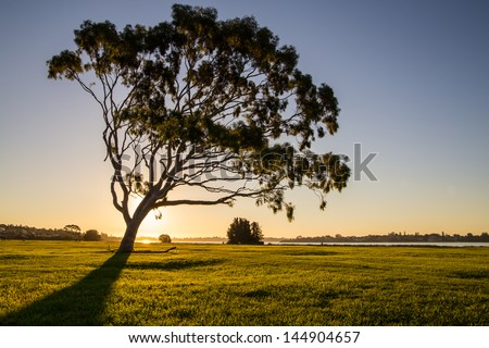 Lonely eucalyptus tree silhouette in a park - stock photo