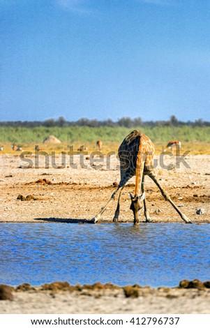 Lonely giraffe drinking water in the dry savana of Namibia. Etosha National Park. - stock photo