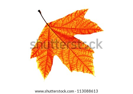 Lonely leaf of a plane tree, isolated on a white background. - stock photo