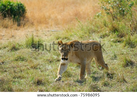 Lonely lioness in the savannah, Masai Mara, Kenya - stock photo