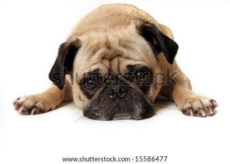 Lonely looking Pug isolated on white background. - stock photo