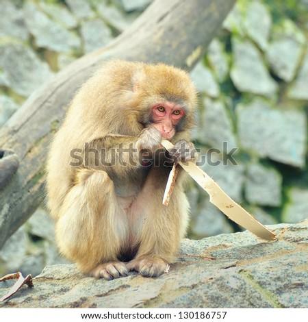 Lonely monkey eats piece of the tree bark - stock photo