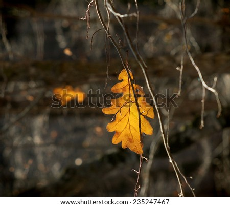 lonely oak yellow leaf stuck among the branches  - stock photo