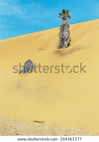 Lonely palm tree on the slope of the Dune #7 in Sossusvlei plato of Namib Naukluft National Park - Namibia, South Africa - stock photo