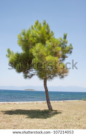 Lonely pine tree at seaside - stock photo