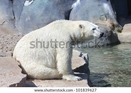 Lonely polar bear - stock photo