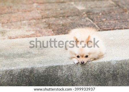 Lonely pomeranian dog waiting for owner to come back - stock photo
