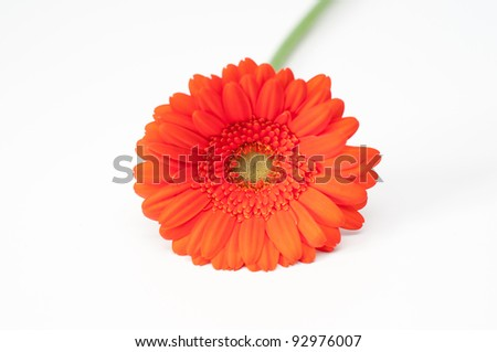 Lonely red gerbera flower isolated on white - stock photo