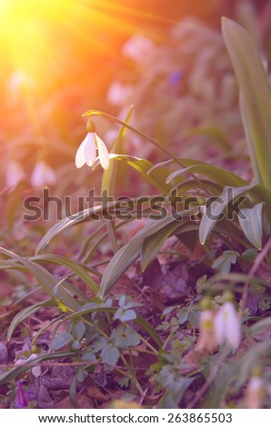 Lonely snowdrop flower reaches for a sun and a sunbeam in the morning. natural composition - stock photo