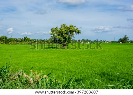 Lonely tree in green rice field  - stock photo