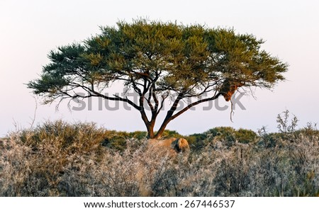 Lonely tree in Namib - Namibia, South-Western Africa - stock photo