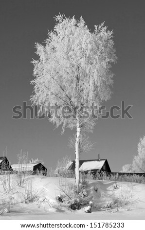 Lonely trees covered with hoar frost - Russia (black and white) - stock photo