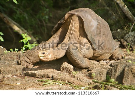 Lonesome George Galapagos, taken a few days before his death - stock photo