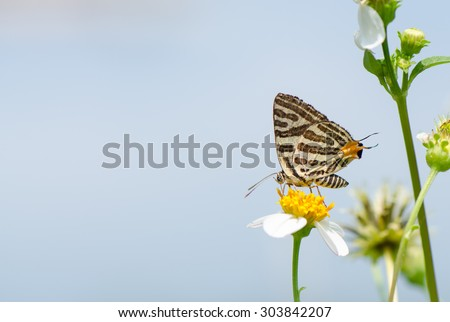 Long-banded Silverline butterfly (Cigaritis lohita) on wild flower with blue sky background. - stock photo