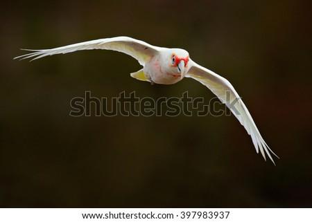 Long-billed Corella, Cacatua tenuirostris, flying white exotic parrot, bird in the nature habitat, action scene from wild, Australia - stock photo