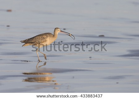Long-billed Curlew with small crab on beach at Morro Bay - stock photo