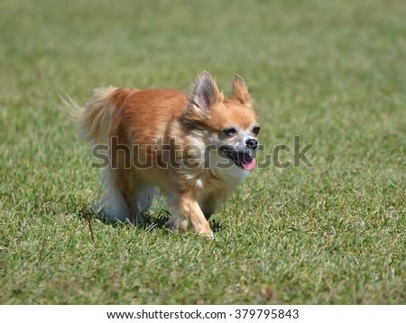 Long Coat Chihuahua Walking on Grass Lawn - stock photo