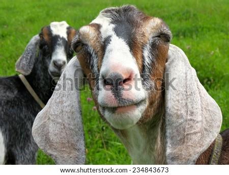 Long eared goat - stock photo