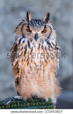 Long Eared Owl (Asio otus) - stock photo