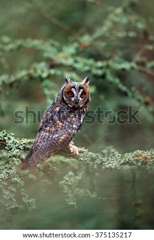 Long-eared Owl, Asio otus, nice bird  sitting on the branch in the fallen larch forest during autumn, animal i the nature habitat, Norway  - stock photo