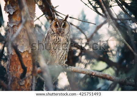 Long eared owl (Asio otus) sitting on a branch of pine tree  - stock photo