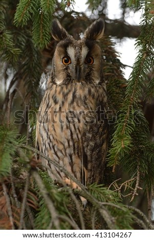Long-eared Owl - Asio otus sitting on the spruce - stock photo
