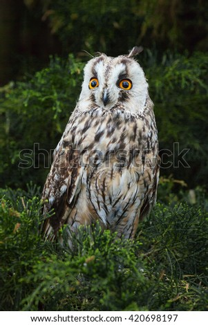 Long-eared Owl face to face. A striking long-eared owl looks straight at the lens. - stock photo