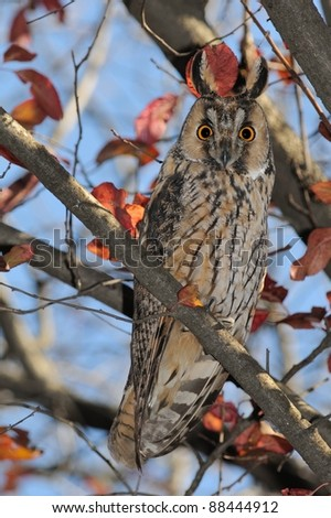 Long eared owl in autumn colors (Asio otus) - stock photo