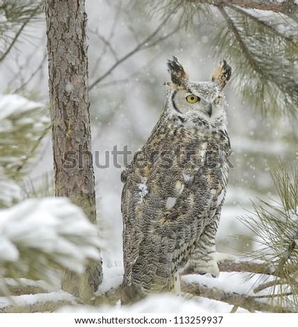 Long eared owl in snowfall - stock photo
