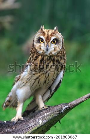 Long-eared Owl portrait - stock photo
