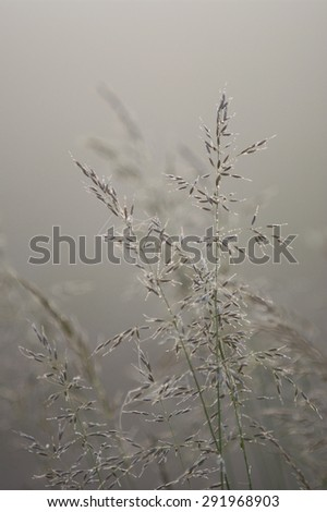 Long grass with sunrise in the background on  foggy morningLong grass during sunrise - stock photo