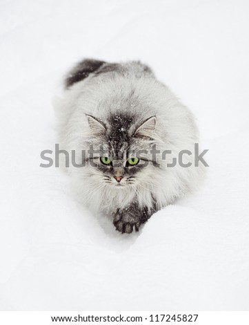 Long-hair cat with green eyes walking on the snow - stock photo