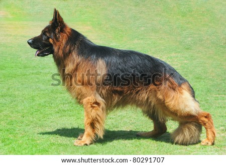 Long hair German shepherd dog stands on grass in show position - stock photo