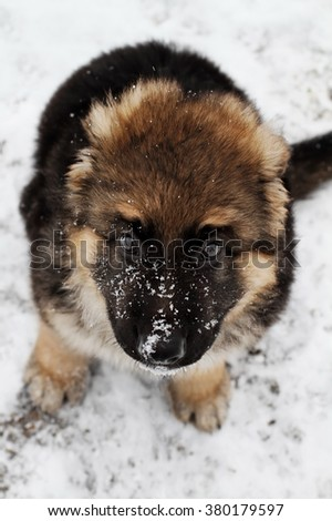 Long hair German Shepherd eight week old puppy sitting in the snow. Extreme shallow depth of field with selective focus on pup's face. - stock photo