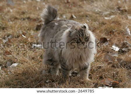 Long haired bobtailed cat walking in  golden grass - stock photo