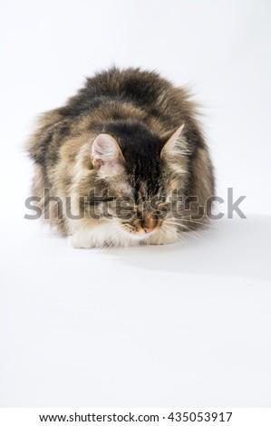 Long-haired cat sleeps on a white floor - stock photo
