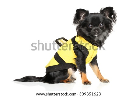 Long-Haired Chihuahua in fashionable dog clothes on white background - stock photo