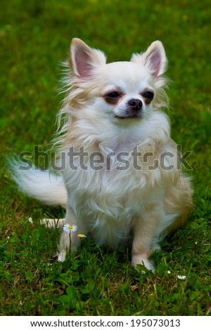 Long-haired chihuahua on the grass posing for a photographer. - stock photo