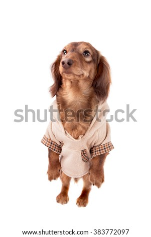 Long-haired Dachshund puppy in the clothes, perform tricks on a white background - stock photo